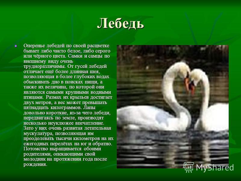 Лебедь Оперенье лебедей по своей расцветке бывает либо чисто белое, либо серого или чёрного цвета. Самки и самцы по внешнему виду очень трудноразличимы. От гусей лебедей отличает ещё более длинная шея, позволяющая в более глубоких водах обыскивать дн