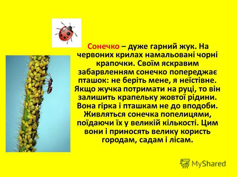 Сонечко – дуже гарний жук. На червоних крилах намальовані чорні крапочки. Своїм яскравим забарвленням сонечко попереджає пташок: не беріть мене, я неїстівне. Якщо жучка потримати на руці, то він залишить крапельку жовтої рідини. Вона гірка і пташкам