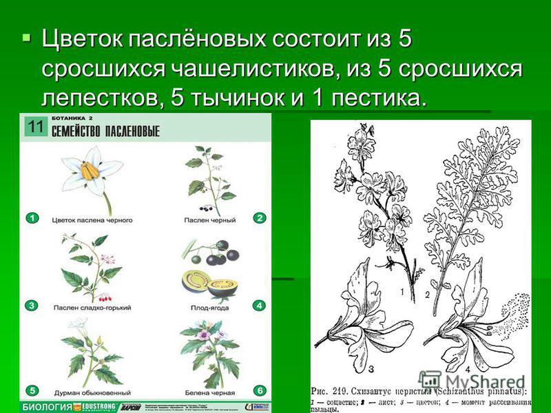Цветок паслёновых состоит из 5 сросшихся чашелистиков, из 5 сросшихся лепестков, 5 тычинок и 1 пестика. Цветок паслёновых состоит из 5 сросшихся чашелистиков, из 5 сросшихся лепестков, 5 тычинок и 1 пестика.