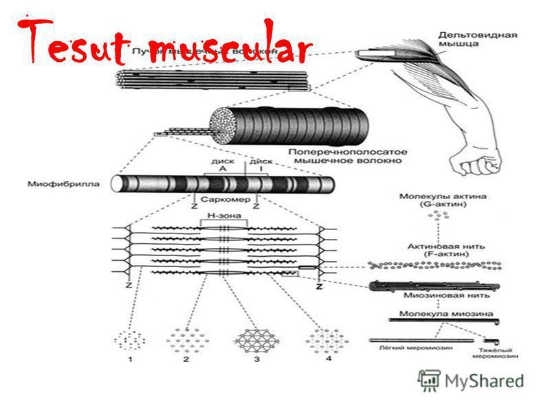 Tesut muscular