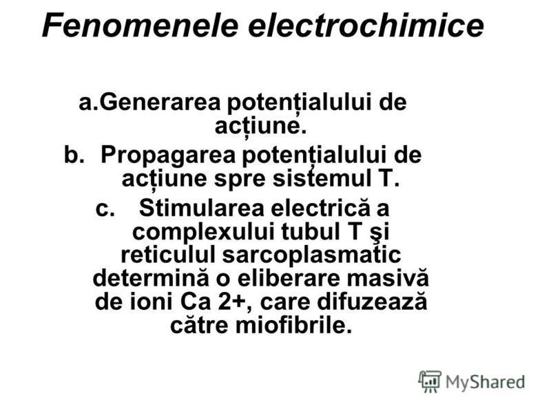 Fenomenele electrochimice a.Generarea potenţialului de acţiune. b.Propagarea potenţialului de acţiune spre sistemul T. c. Stimularea electrică a complexului tubul T şi reticulul sarcoplasmatic determină o eliberare masivă de ioni Ca 2+, care difuzeaz