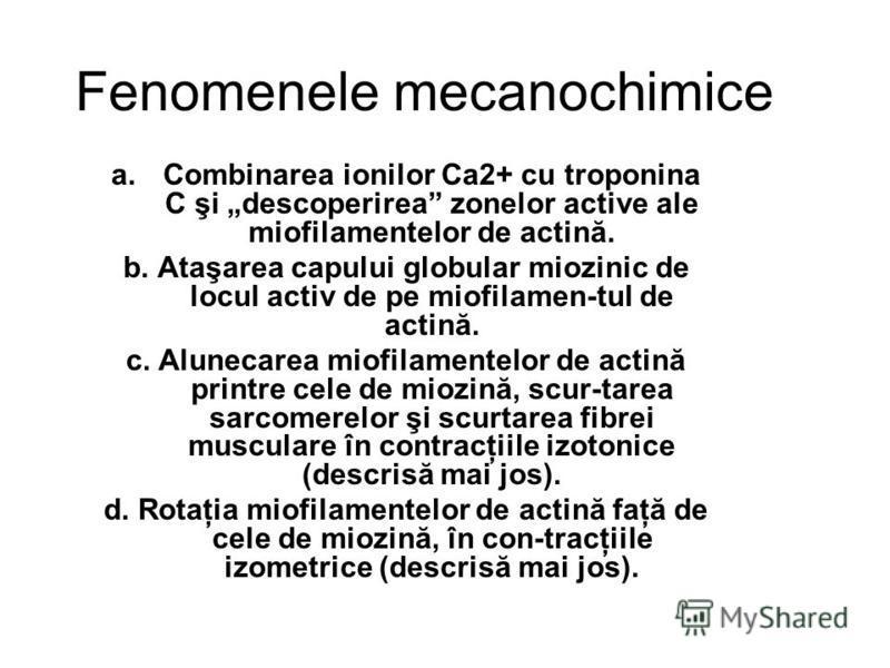 Fenomenele mecanochimice a.Combinarea ionilor Ca2+ cu troponina C şi descoperirea zonelor active ale miofilamentelor de actină. b. Ataşarea capului globular miozinic de locul activ de pe miofilamen-tul de actină. c. Alunecarea miofilamentelor de acti