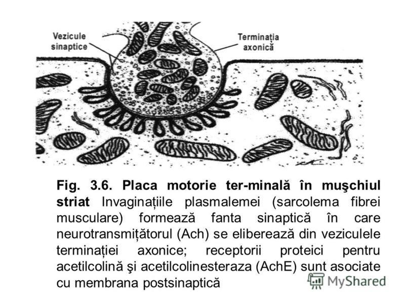 Fig. 3.6. Placa motorie ter-minală în muşchiul striat Invaginaţiile plasmalemei (sarcolema fibrei musculare) formează fanta sinaptică în care neurotransmiţătorul (Ach) se eliberează din veziculele terminaţiei axonice; receptorii proteici pentru aceti