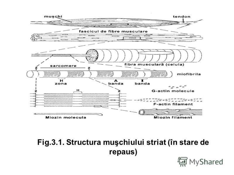 Fig.3.1. Structura muşchiului striat (în stare de repaus)