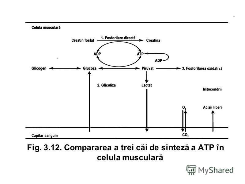 Fig. 3.12. Compararea a trei căi de sinteză a ATP în celula musculară