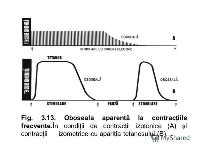 Fig. 3.13. Oboseala aparentă la contracţiile frecvente.În condiţii de contracţii izotonice (A) şi contracţii izometrice cu apariţia tetanosului (B).