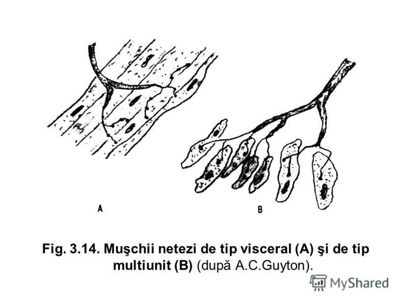 Fig. 3.14. Muşchii netezi de tip visceral (A) şi de tip multiunit (B) (după A.C.Guyton).