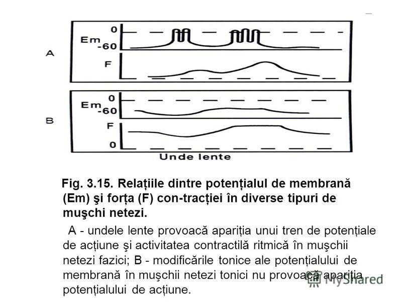 Fig. 3.15. Relaţiile dintre potenţialul de membrană (Em) şi forţa (F) con-tracţiei în diverse tipuri de muşchi netezi. A - undele lente provoacă apariţia unui tren de potenţiale de acţiune şi activitatea contractilă ritmică în muşchii netezi fazici;