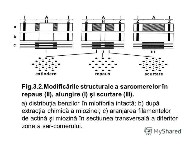 Fig.3.2.Modificările structurale a sarcomerelor în repaus (II), alungire (I) şi scurtare (III). a) distribuţia benzilor în miofibrila intactă; b) după extracţia chimică a miozinei; c) aranjarea filamentelor de actină şi miozină în secţiunea transvers