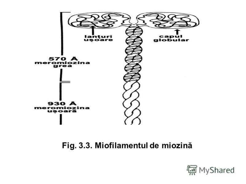Fig. 3.3. Miofilamentul de miozină