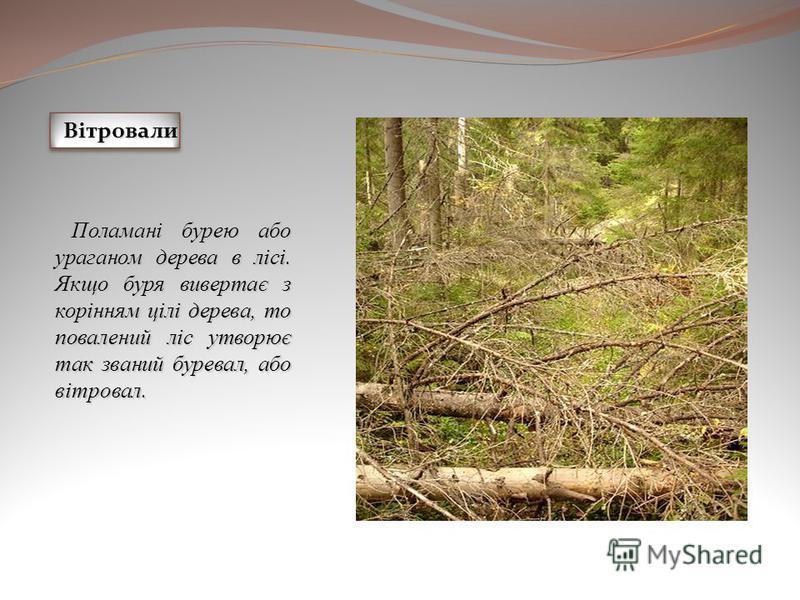 Вітровали Поламані бурею або ураганом дерева в лісі. Якщо буря вивертає з корінням цілі дерева, то повалений ліс утворює так званий буревал, або вітровал. Поламані бурею або ураганом дерева в лісі. Якщо буря вивертає з корінням цілі дерева, то повале