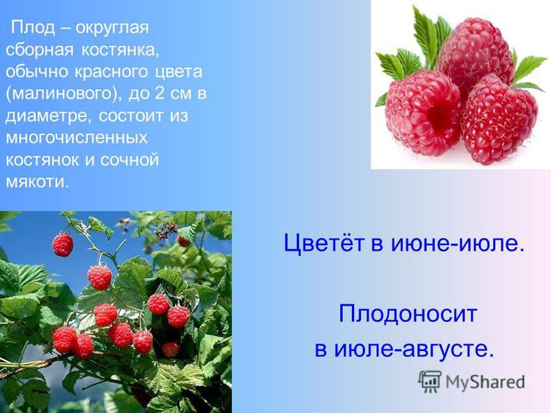 Плод – округлая сборная костянка, обычно красного цвета (малинового), до 2 см в диаметре, состоит из многочисленных костянок и сочной мякоти. Цветёт в июне-июле. Плодоносит в июле-августе.