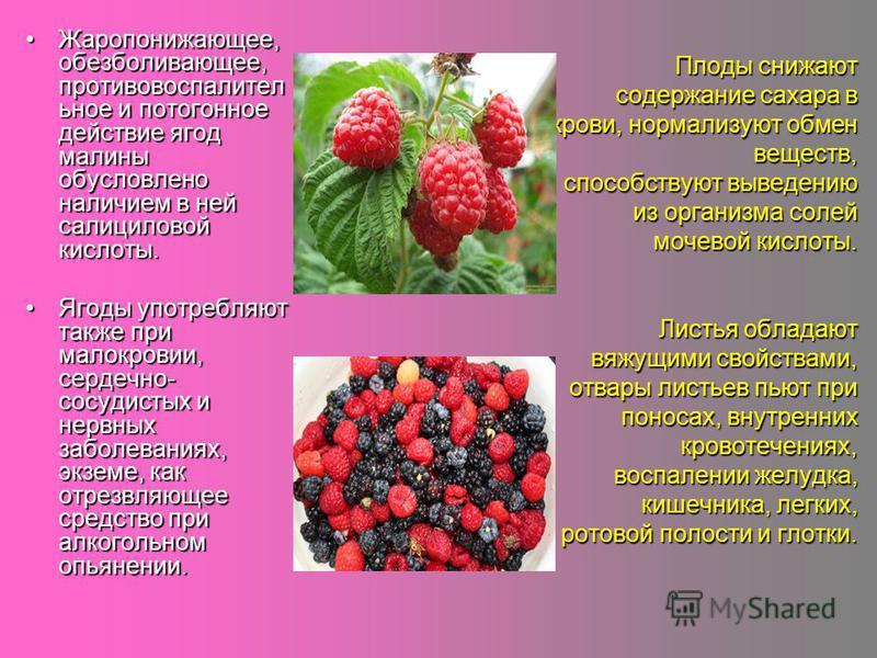 Плоды снижают содержание сахара в крови, нормализуют обмен веществ, способствуют выведению из организма солей мочевой кислоты. Листья обладают вяжущими свойствами, отвары листьев пьют при поносах, внутренних кровотечениях, воспалении желудка, кишечни