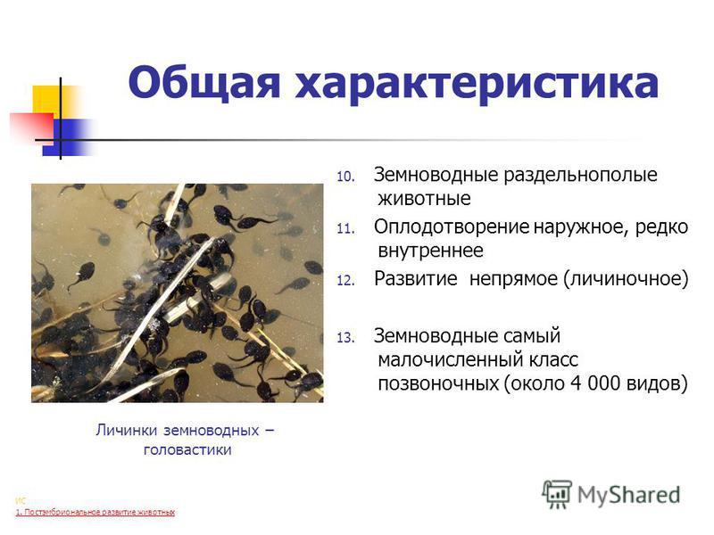 Общая характеристика 10. Земноводные раздельнополые животные 11. Оплодотворение наружное, редко внутреннее 12. Развитие непрямое (личиночное) 13. Земноводные самый малочисленный класс позвоночных (около 4 000 видов) Личинки земноводных – головастики