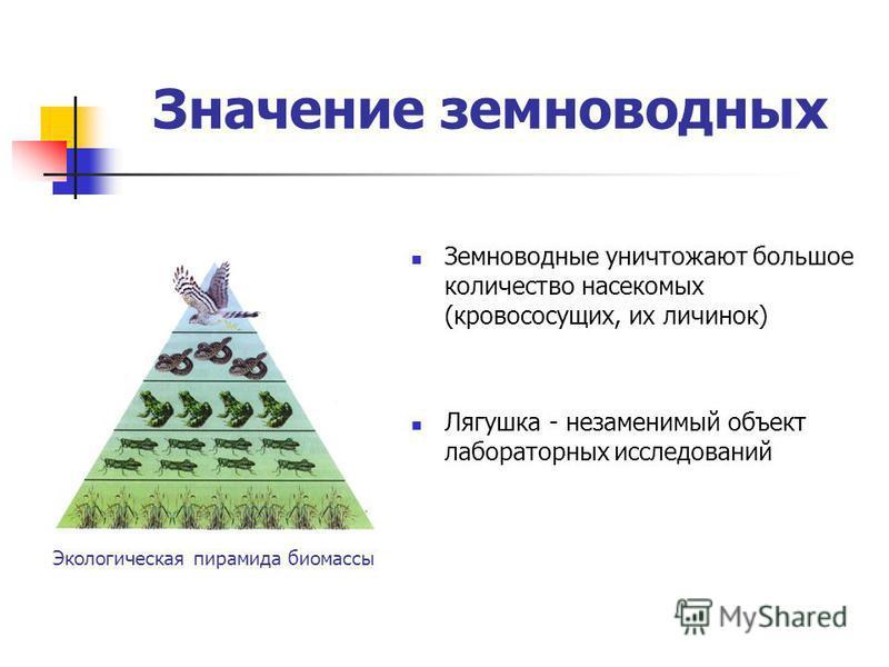 Значение земноводных Земноводные уничтожают большое количество насекомых (кровососущих, их личинок) Лягушка - незаменимый объект лабораторных исследований Экологическая пирамида биомассы