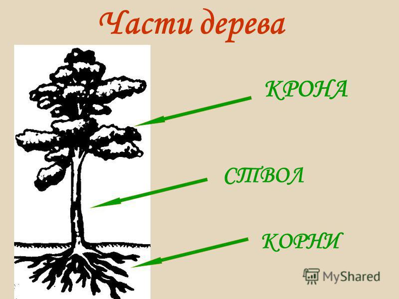 Части дерева КРОНА СТВОЛ КОРНИ