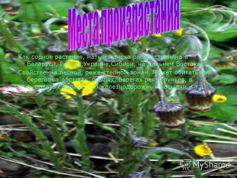 На вершинках стеблей-цветочные корзинки золотисто- желтого цвета. Цветы в корзинке по краям язычковые, в середине-трубчатые. Корзинки у мать - и - мачехи одиночные, 2-2,5 см в поперечнике, которые поникают после цветения. Цветущее растение напоминает