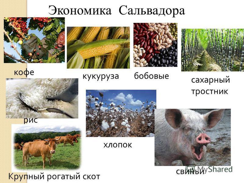 Экономика Сальвадора кофе кукуруза бобовые рис хлопок сахарный тростник Крупный рогатый скот свиньи