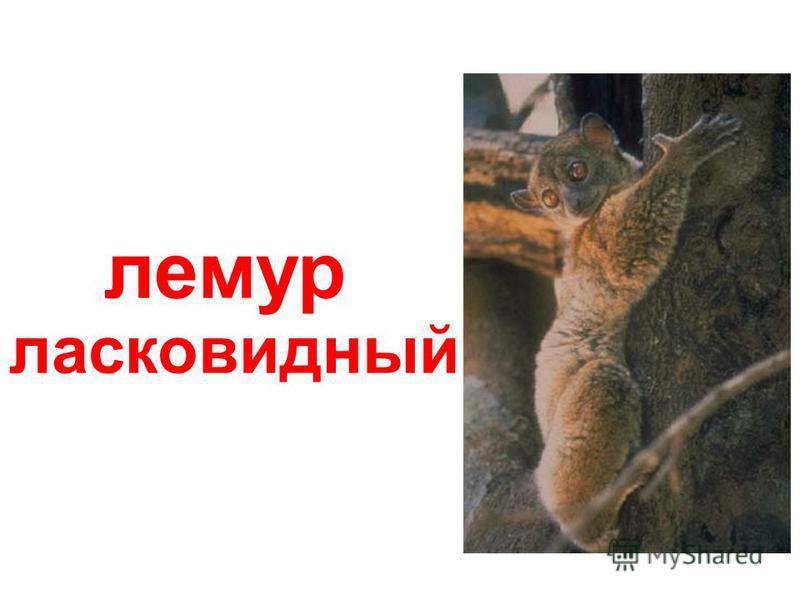 Лемуры лемур