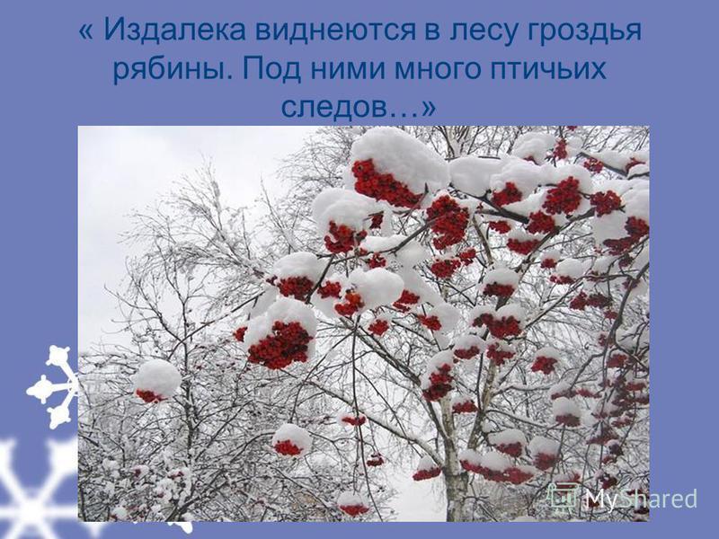 « Издалека виднеются в лесу гроздья рябины. Под ними много птичьих следов…»