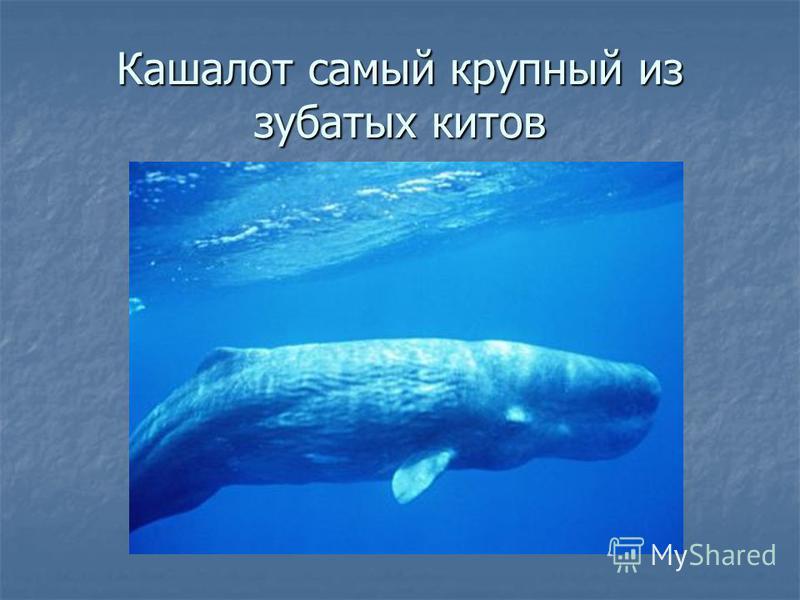 Кашалот самый крупный из зубатых китов