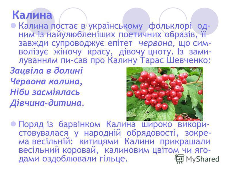 Калина Калина постає в українському фольклорі од- ним із найулюбленіших поетичних образів, її завжди супроводжує епітет червона, що сим- волізує жіночу красу, дівочу цноту. Із зами- луванням пи-сав про Калину Тарас Шевченко: Зацвіла в долині Червона