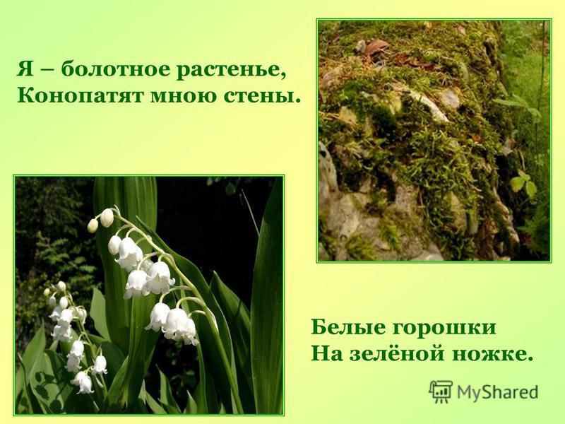 Я – болотное растенье, Конопатят мною стены. Белые горошки На зелёной ножке.