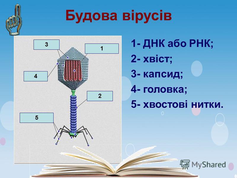 Будова вірусів 1- ДНК або РНК; 2- хвіст; 3- капсид; 4- головка; 5- хвостові нитки. 1 2 3 4 5