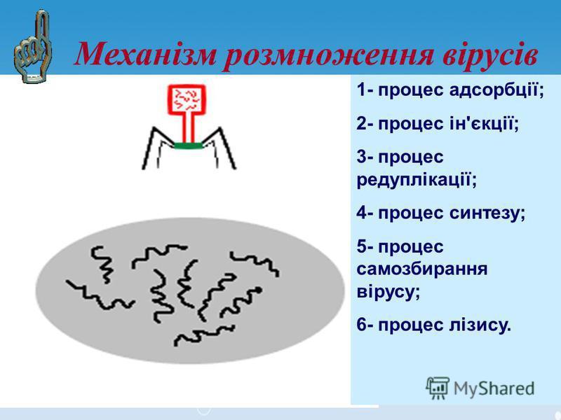 Механізм розмноження вірусів 1- процес адсорбції; 2- процес ін'єкції; 3- процес редуплікації; 4- процес синтезу; 5- процес самозбирання вірусу; 6- процес лізису.