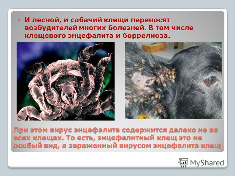 При этом вирус энцефалита содержится далеко не во всех клещах. То есть, энцефалитный клещ это не особый вид, а зараженный вирусом энцефалита клещ И лесной, и собачий клещи переносят возбудителей многих болезней. В том числе клещевого энцефалита и бор