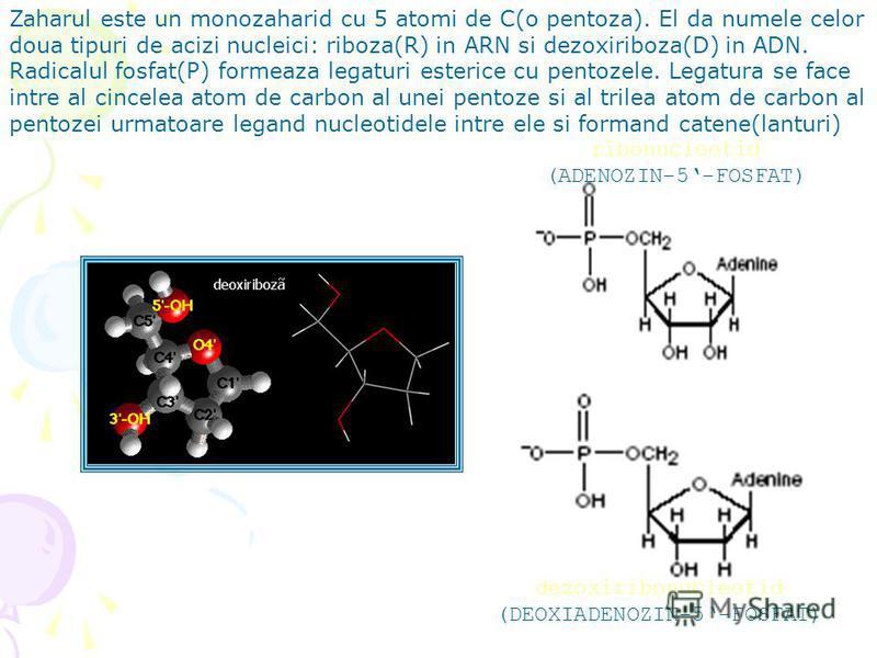 Zaharul este un monozaharid cu 5 atomi de C(o pentoza). El da numele celor doua tipuri de acizi nucleici: riboza(R) in ARN si dezoxiriboza(D) in ADN. Radicalul fosfat(P) formeaza legaturi esterice cu pentozele. Legatura se face intre al cincelea atom