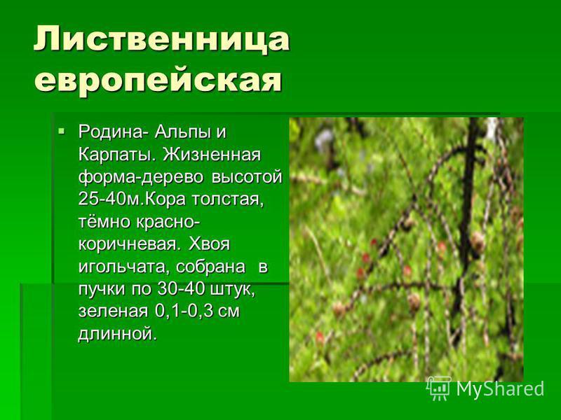 Лиственница европейская Родина- Альпы и Карпаты. Жизненная форма-дерево высотой 25-40 м.Кора толстая, тёмно красно- коричневая. Хвоя игольчата, собрана в пучки по 30-40 штук, зеленая 0,1-0,3 см длинной. Родина- Альпы и Карпаты. Жизненная форма-дерево