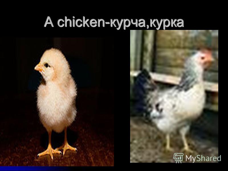 A chicken-курча,курка