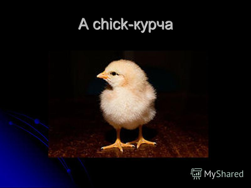 A chick-курча