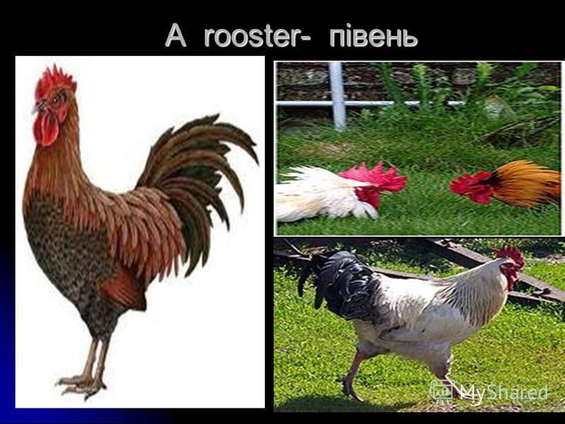 A rooster- півень A rooster- півень