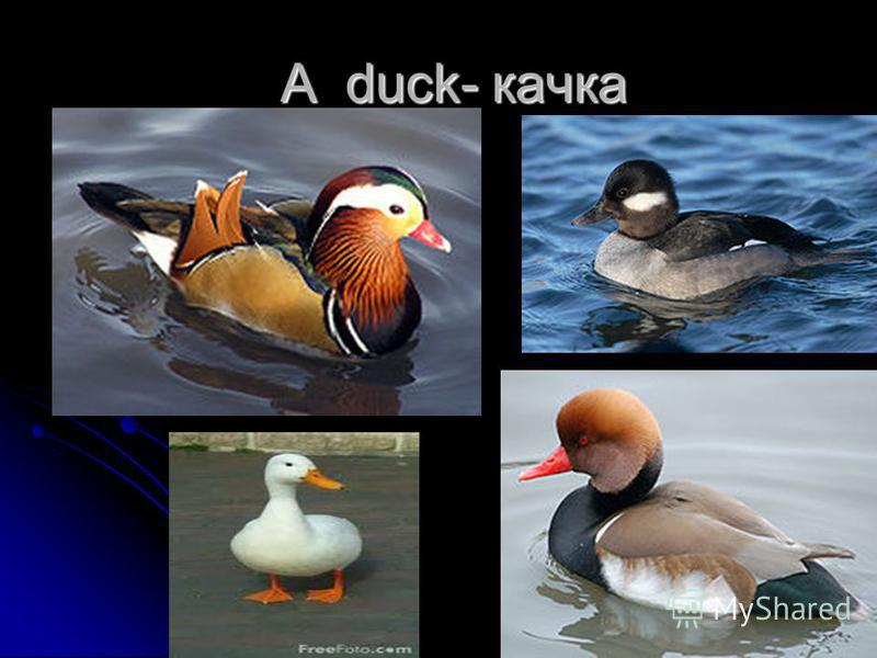 A duck- качка A duck- качка