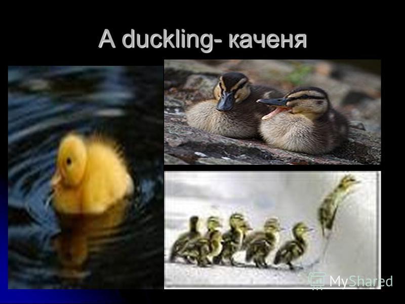 A duckling- каченя