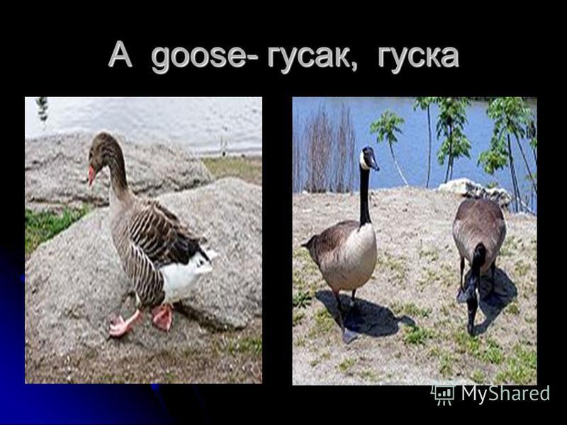 A goose- гусак, гуска