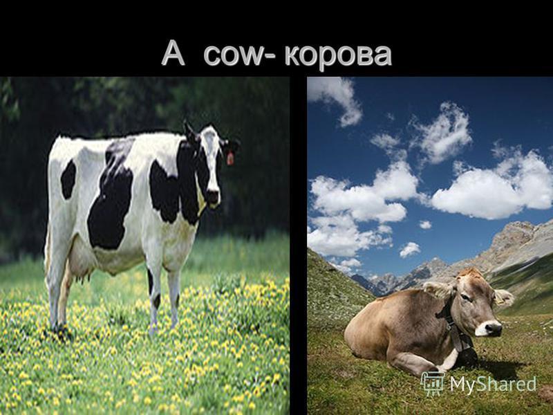 A cow- корова
