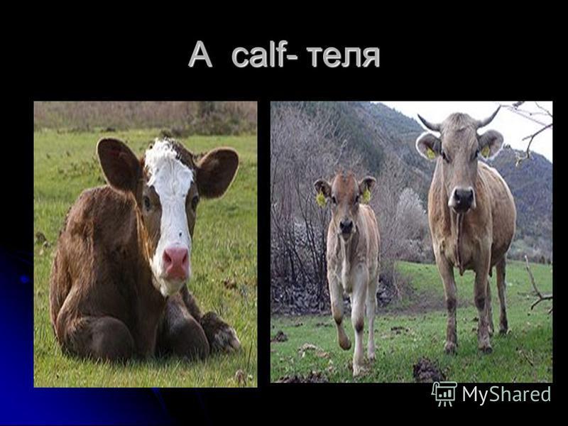 A calf- теля