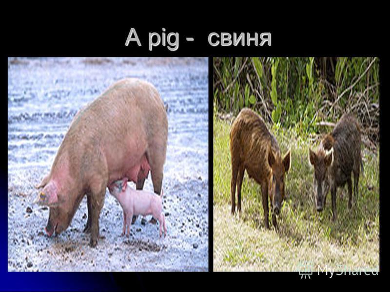 A pig - свиня A pig - свиня