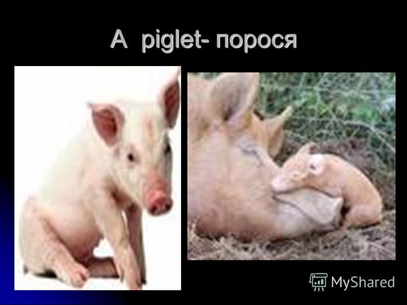A piglet- порося