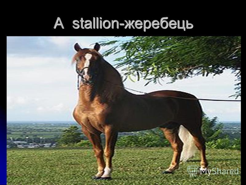 A stallion-жеребець