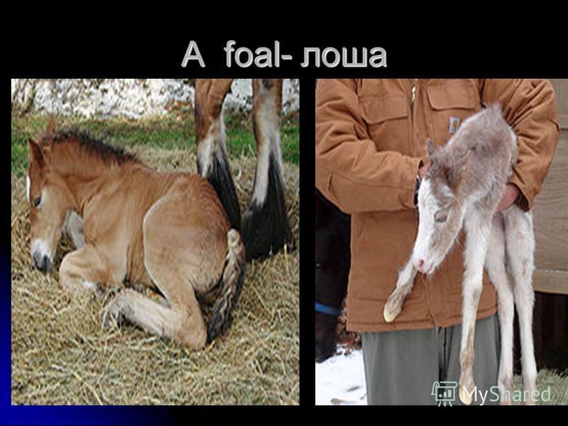 A foal- лоша
