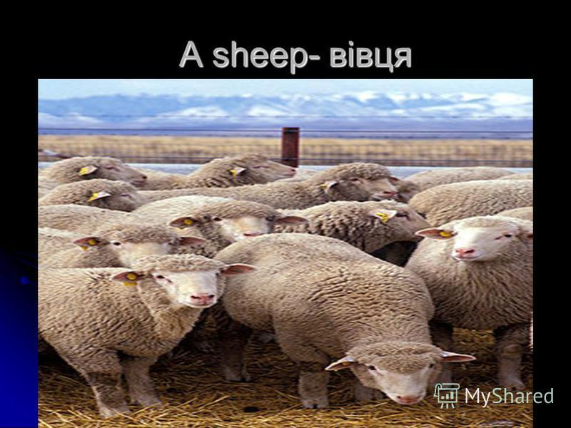 A sheep- вівця A sheep- вівця