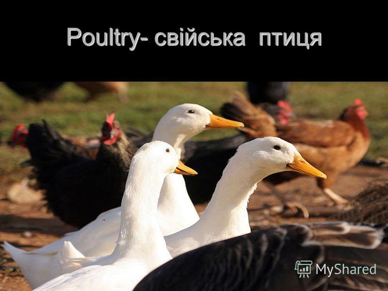 Poultry- свійська птиця