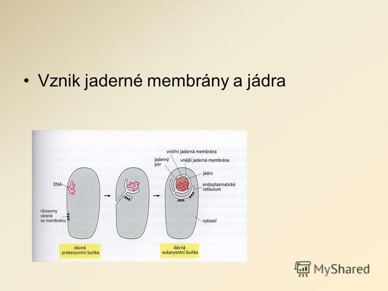Vznik jaderné membrány a jádra