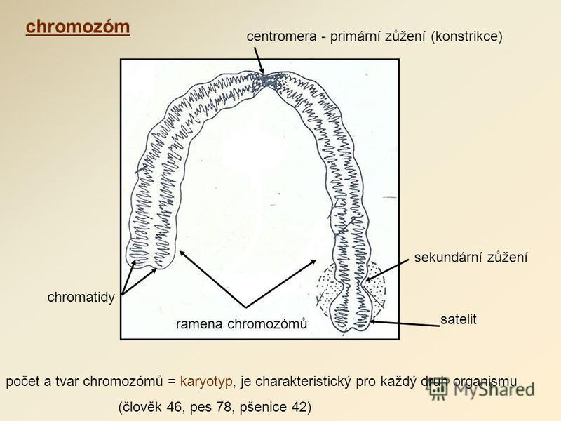 chromozóm ramena chromozómů centromera - primární zůžení (konstrikce) sekundární zůžení satelit chromatidy počet a tvar chromozómů = karyotyp, je charakteristický pro každý druh organismu (člověk 46, pes 78, pšenice 42)