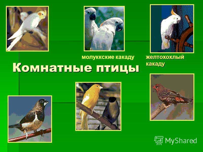 1 Комнатные птицы молуккские какаду желтохохлый какаду