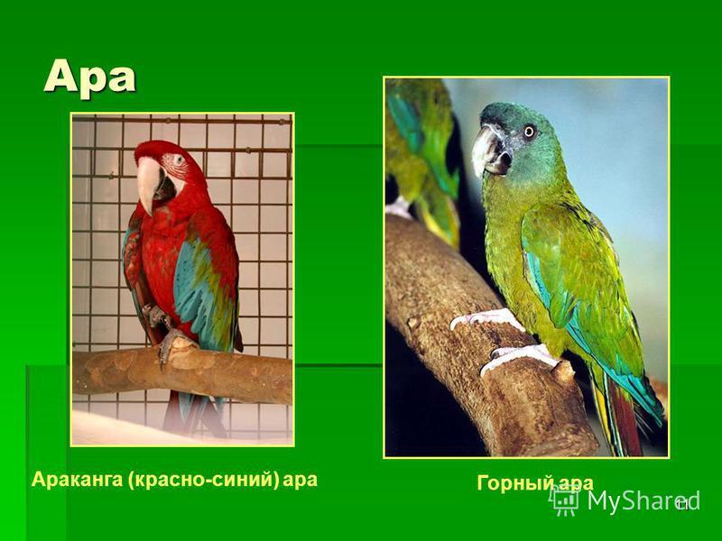 11 Ара Араканга (красно-синий) ара Горный ара